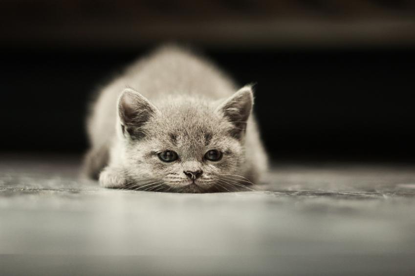 Enfermedades de gatos c