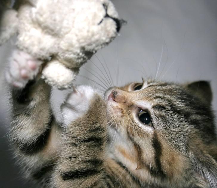 Esterilización de gatos d
