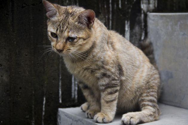Leucemia en gatos b