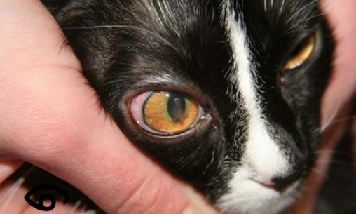 Leucemia en gatos c