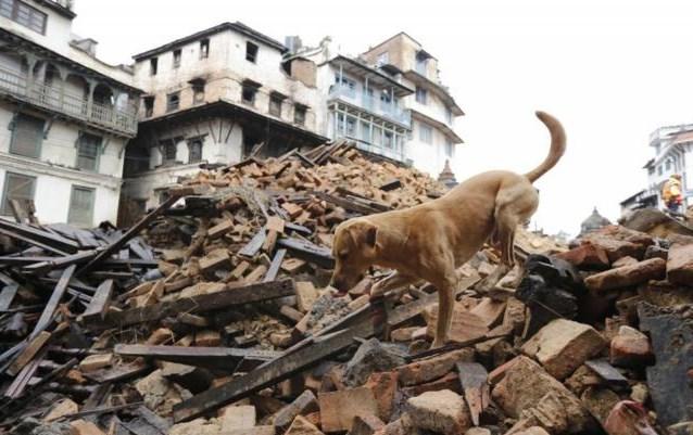 Perros de rescate en el terremoto de Nepal