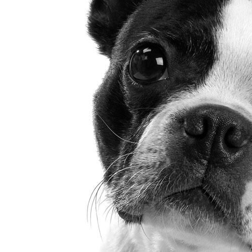 accessorios para bulldog francés, productos para bulldog francés