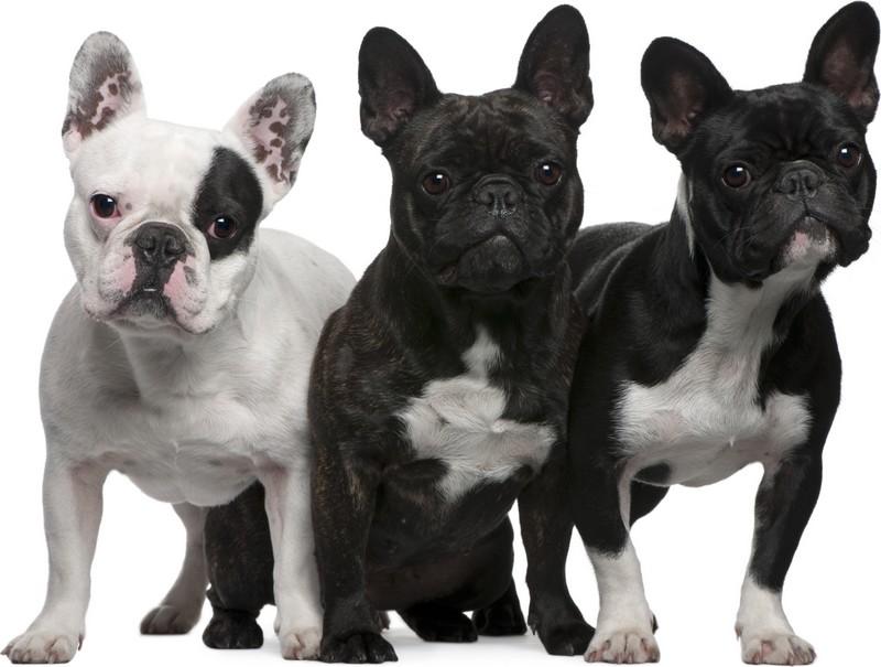10 curiosidades sobre el bulldog francés
