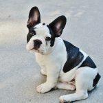 5 cosas que nunca debes olvidar con tu bulldog francés