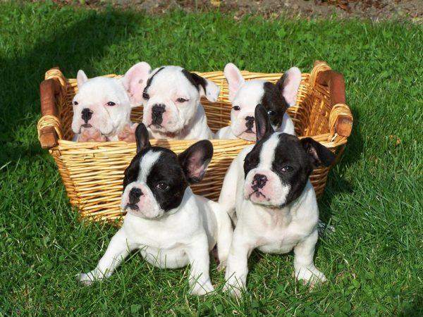 5 cosas que nunca debes olvidar con tu bulldog francés b