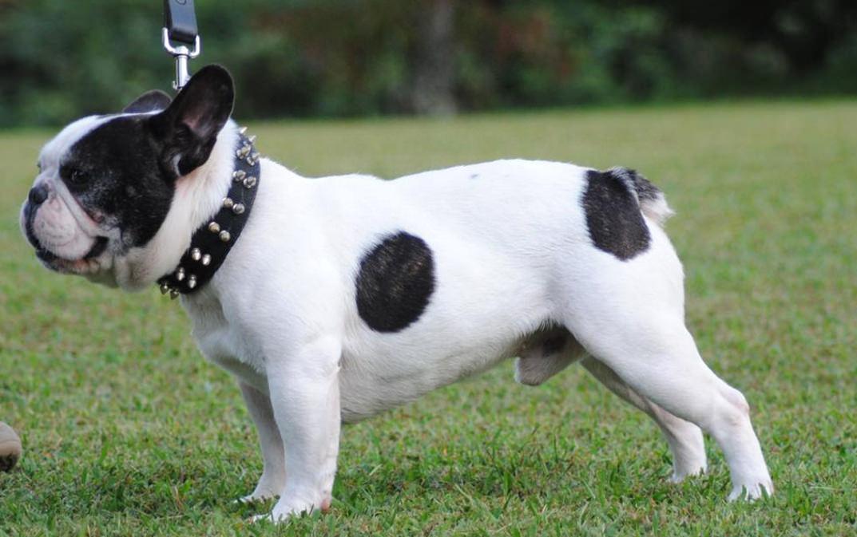 Principales características del bulldog francés y su comportamiento b