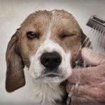 baño beagle