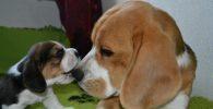 caracter beagle