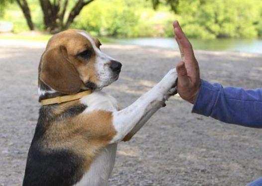 educacion beagle